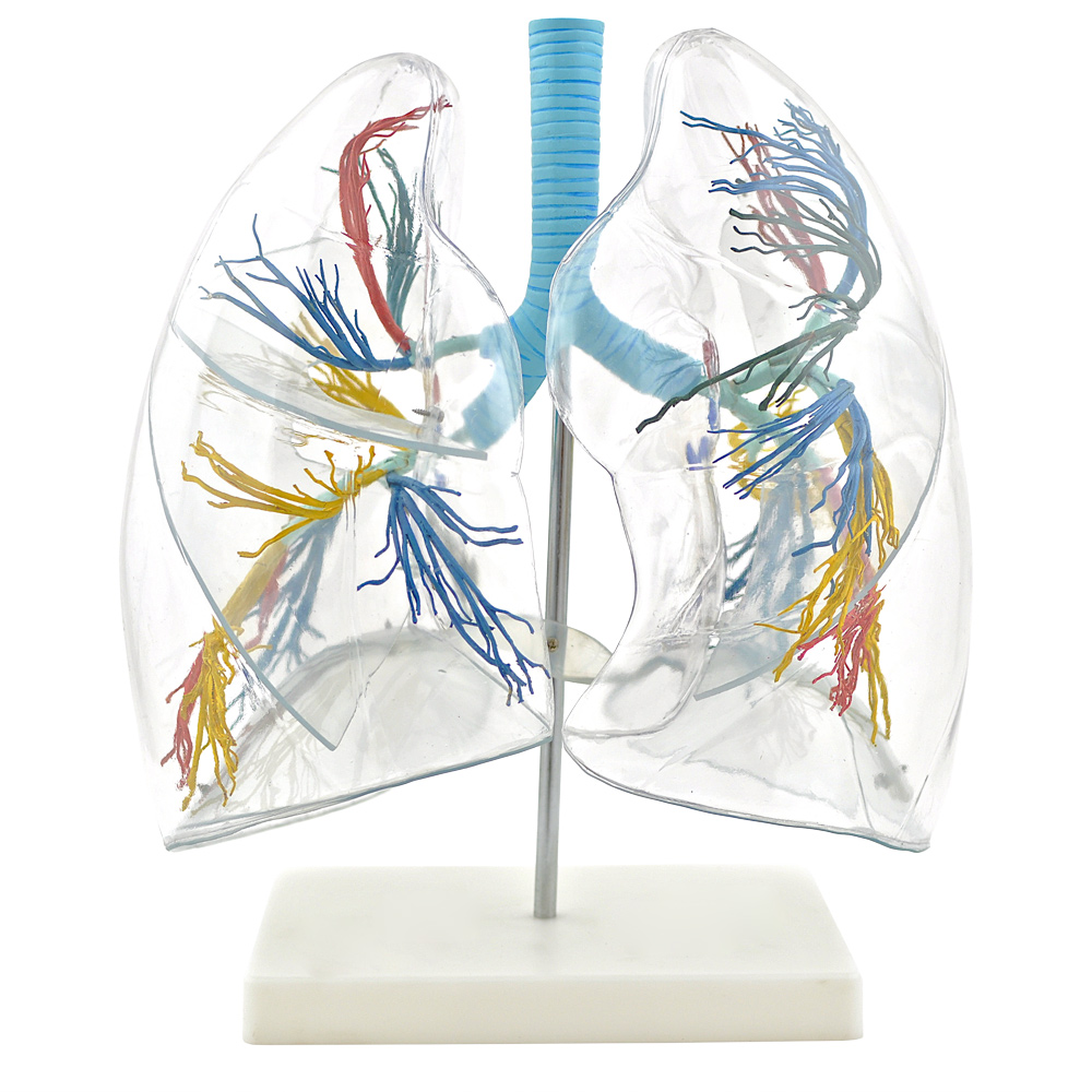 3D Lung Model Transparent