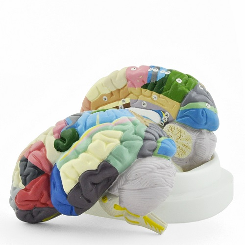 Coloured Brain Model with Labelling