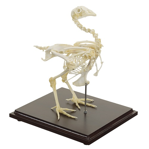 Chicken Skeleton Model  with Real Bones