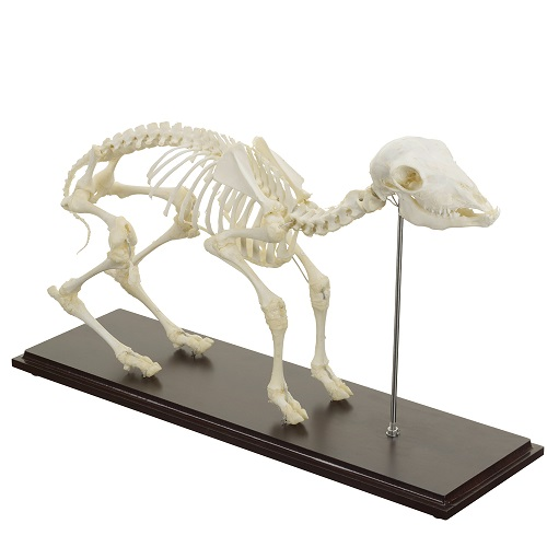 Real Animal Skeleton Models