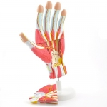 3D Anatomical Hand Model