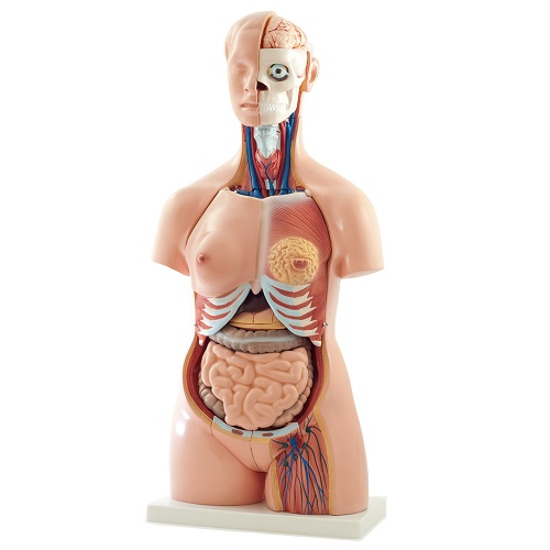 Anatomy Models  - Torso and Head